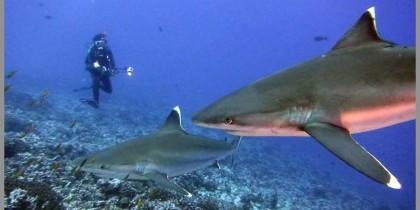 La Réunion : signalez les requin de récif !