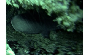 Requin corail observé en mai 2013.